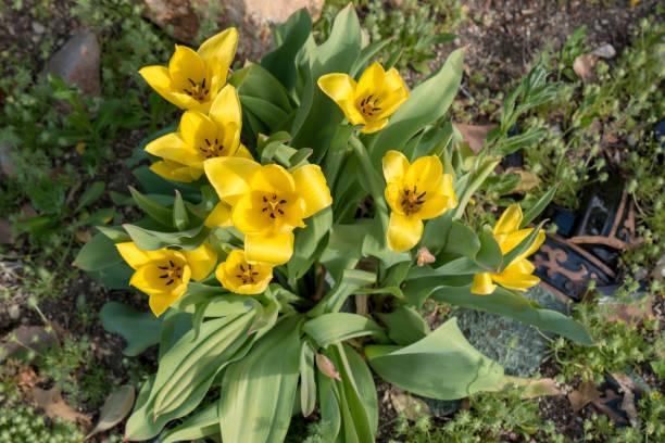 Yellow Tulips in Reno Nevada stock photo