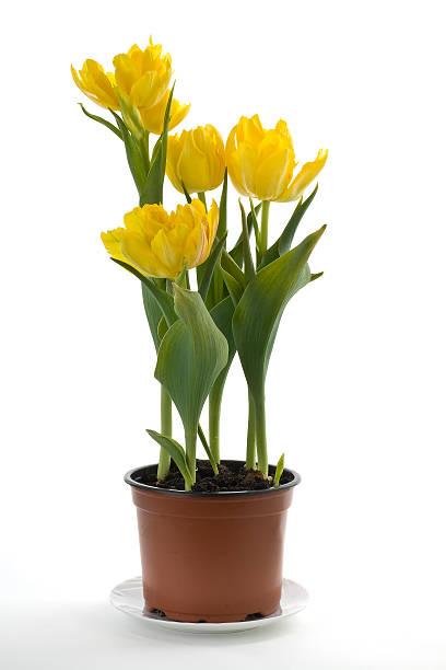 Gelbe Tulpen in der flower pot – Foto