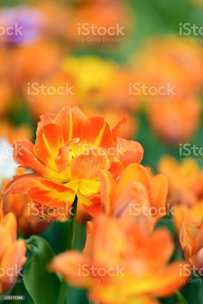 Yellow tulips in the garden royalty-free stock photo