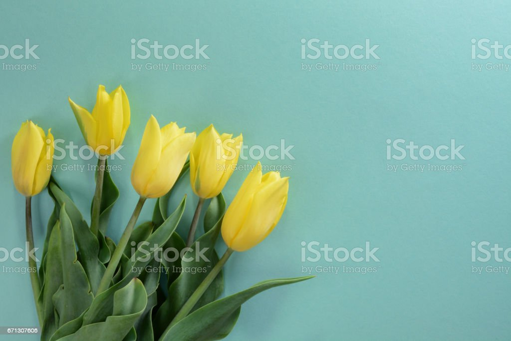 Yellow tulips on a light turquoise background stock photo
