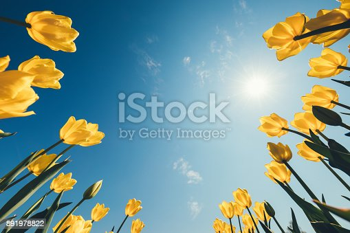 Easter background with yellow tulips. Low angle view.