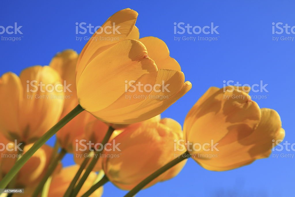 Yellow tulips on blue sky stock photo