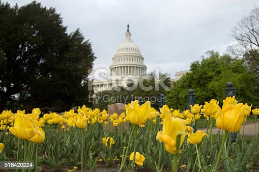 Yellow tulips shown with dome of US Capitol building in Washington, D.C., in background.