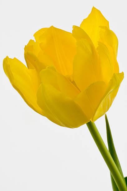 Gelbe Tulpen – Foto