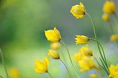 Woodland tulips, Wild tulips