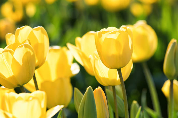 Yellow Tulips stock photo