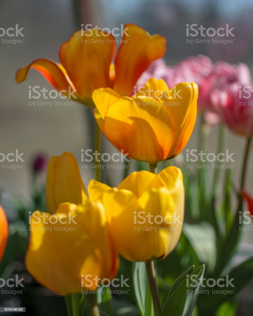Yellow Tulips photo libre de droits
