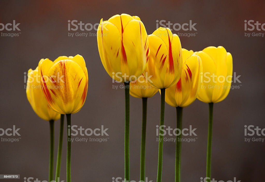 Yellow Tulips royalty free stockfoto