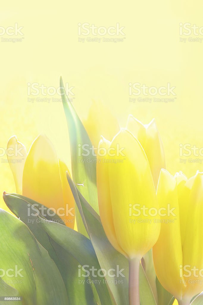 Gelbe Tulpen Lizenzfreies stock-foto