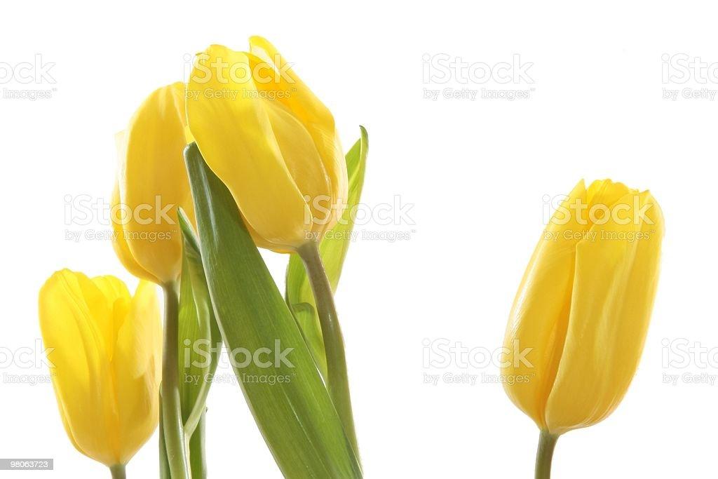 Giallo tulipani. foto stock royalty-free
