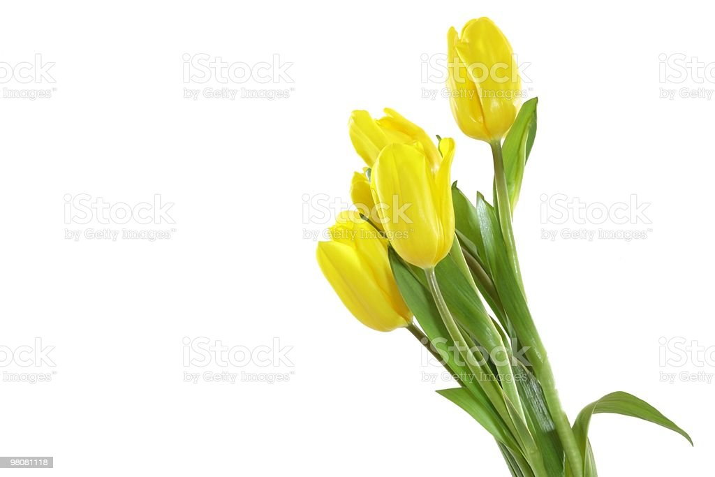 Yellow tulips . royalty-free stock photo