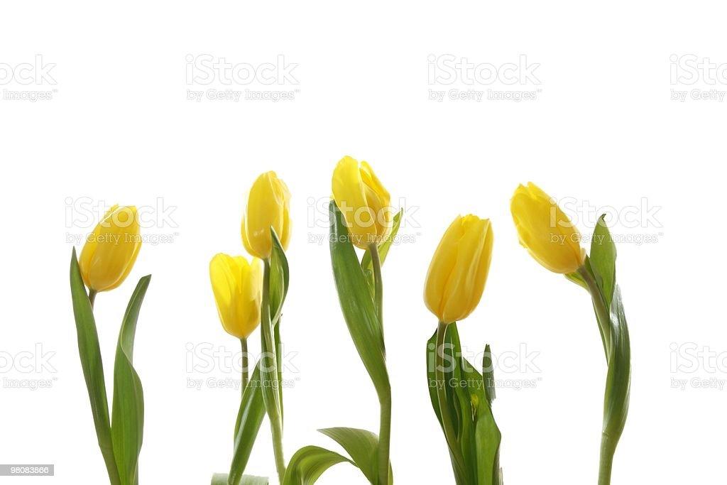 Yellow tulips . royalty-free stock photo