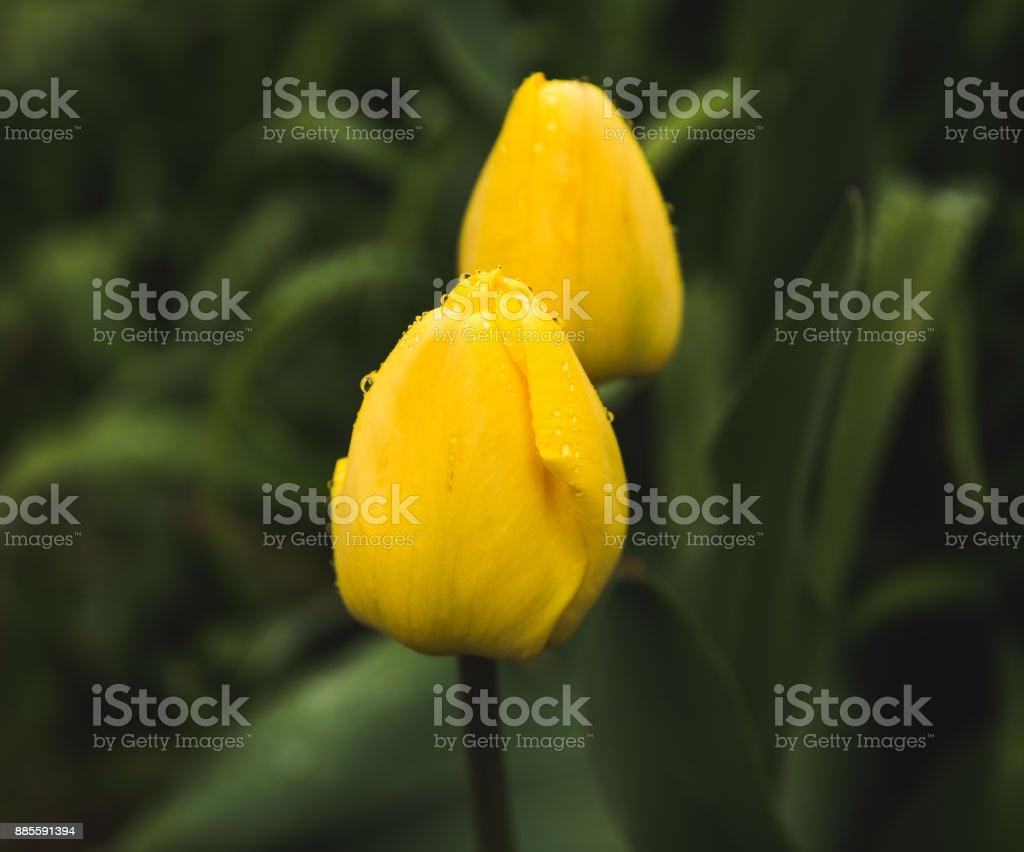 Tulipas amarelas com pingos de chuva - foto de acervo