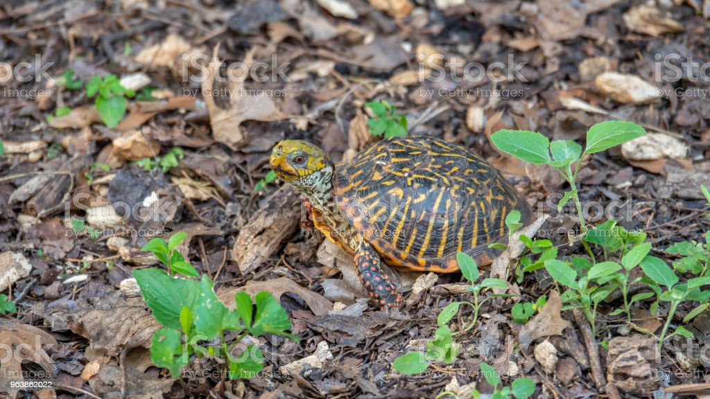 Yellow Turtle Looking at the Camera - Royalty-free Animal Foot Stock Photo
