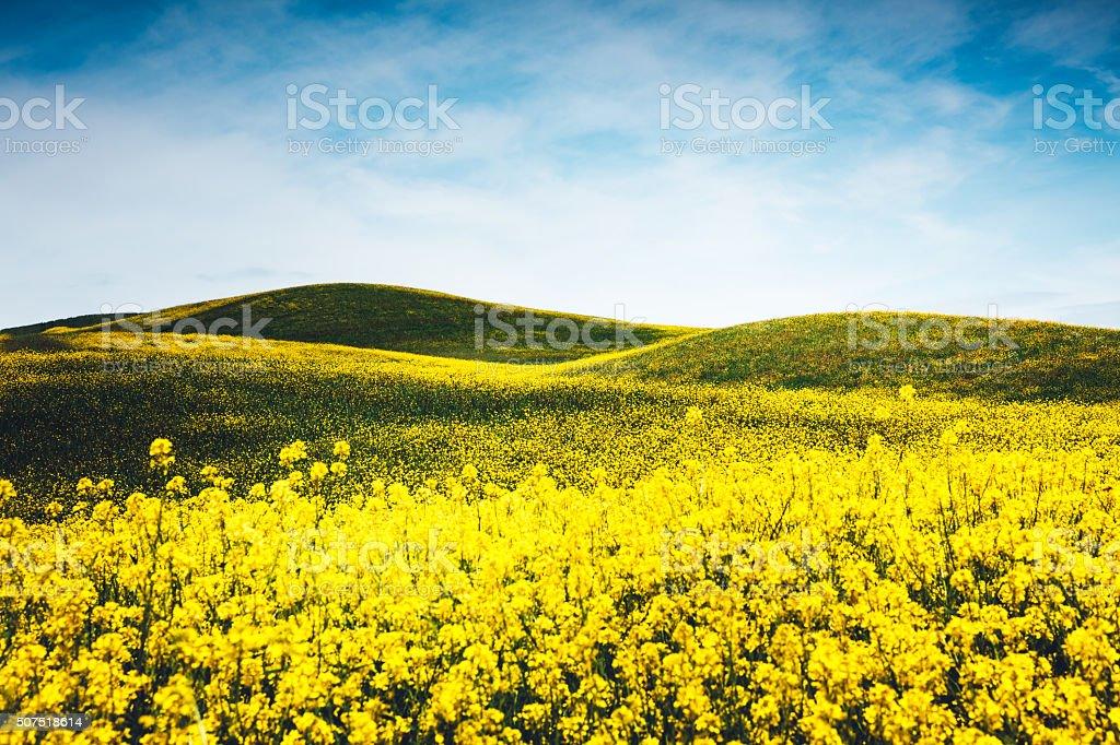 Yellow Tuscany Field stock photo