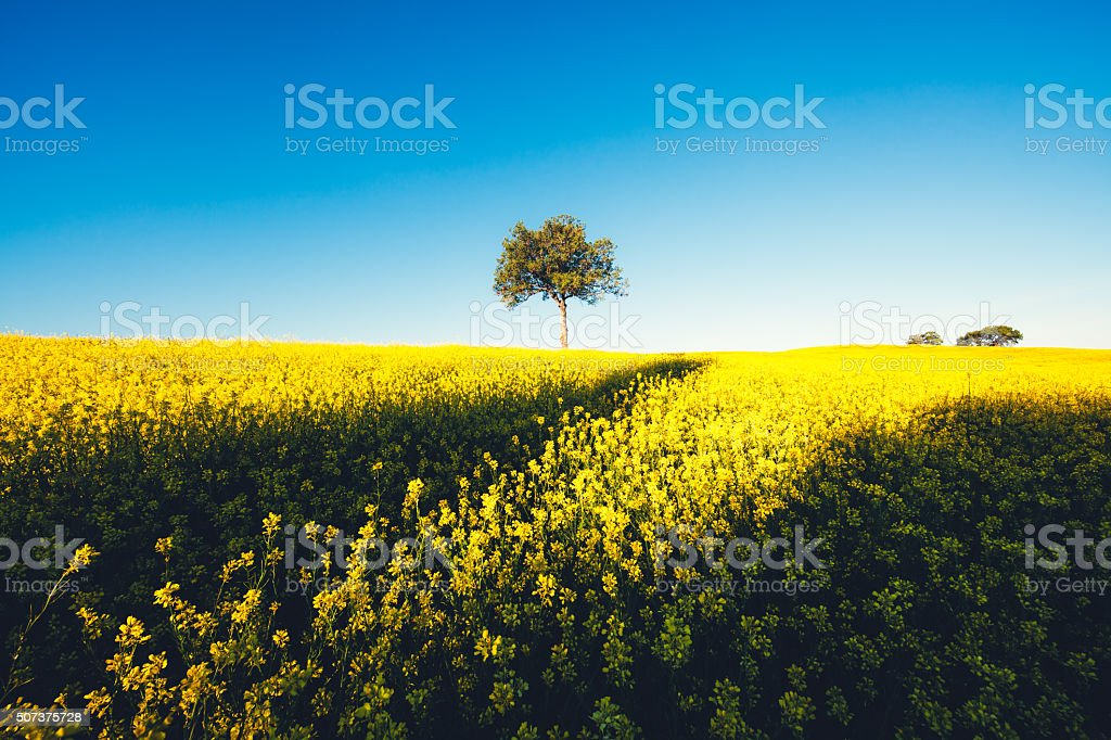 Yellow Tuscany Field With Tree stock photo