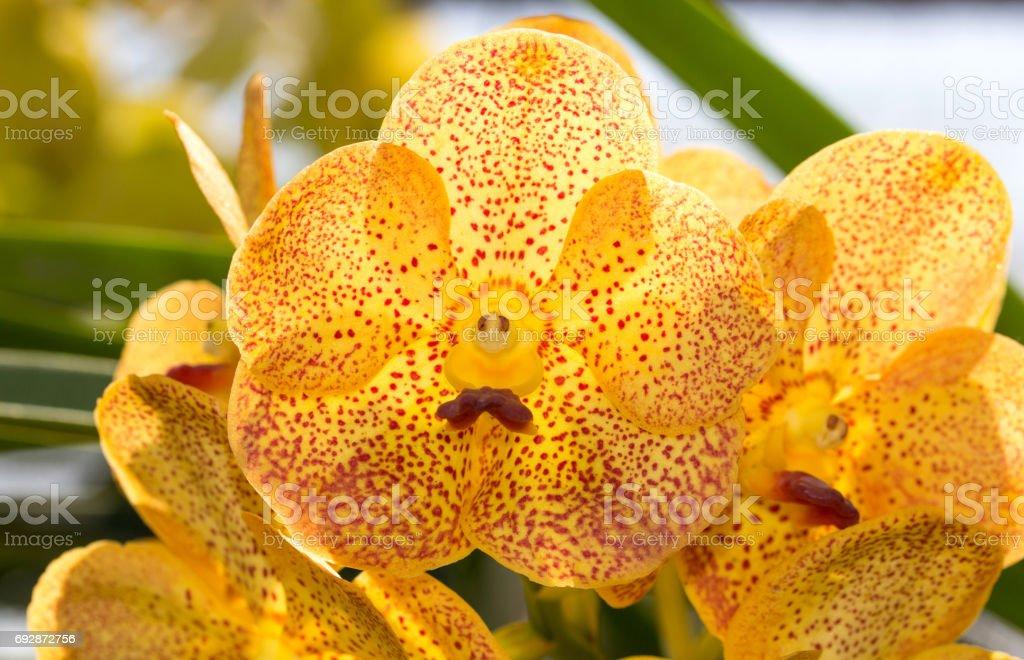 Yellow vanda orchid flower stock photo