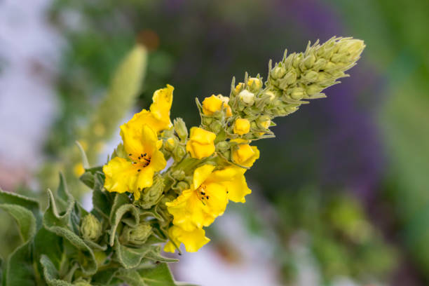 Yellow Verbascum mullein flower in the garden stock photo