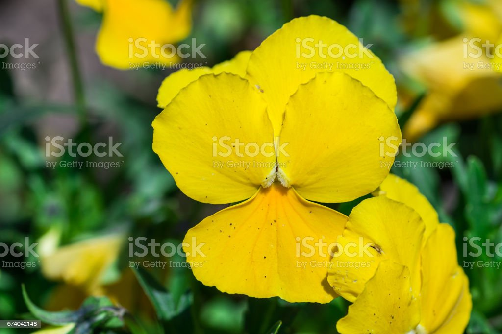 Yellow Viola tricolor spring flower plant in the park royalty-free stock photo