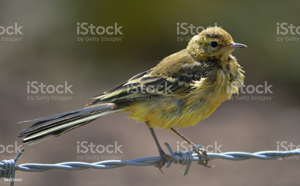 Yellow Wagtail royalty-free stock photo