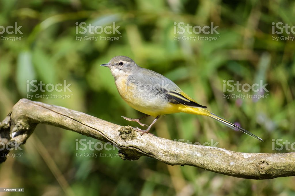 Yellow wagtail sitting on a branch stock photo