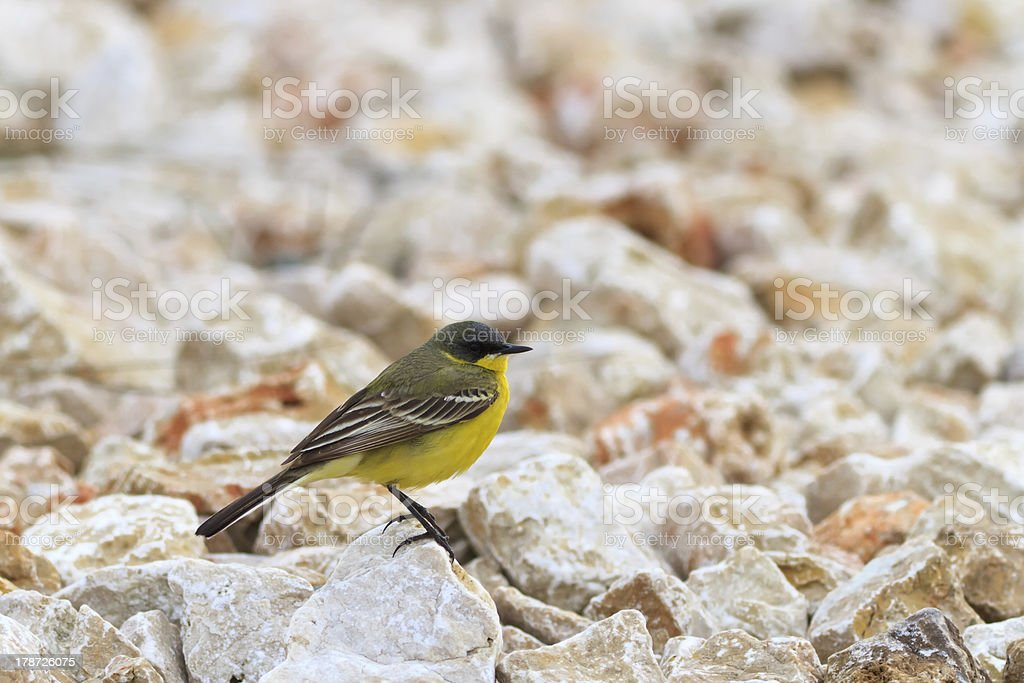 yellow wagtail warble royalty-free stock photo