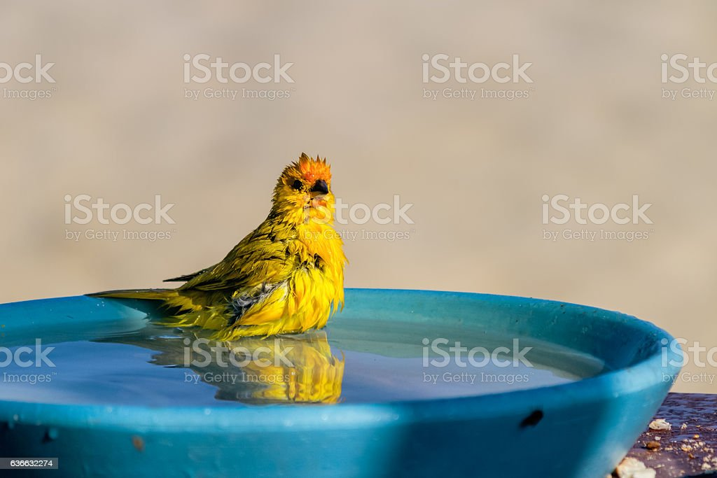 Yellow warbler bathing stock photo