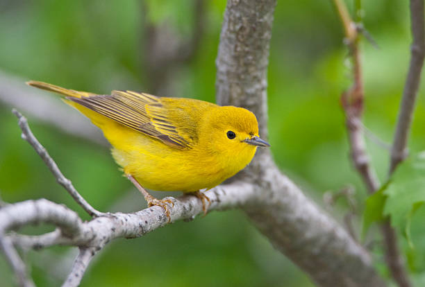 Yellow Warbler Bird stock photo