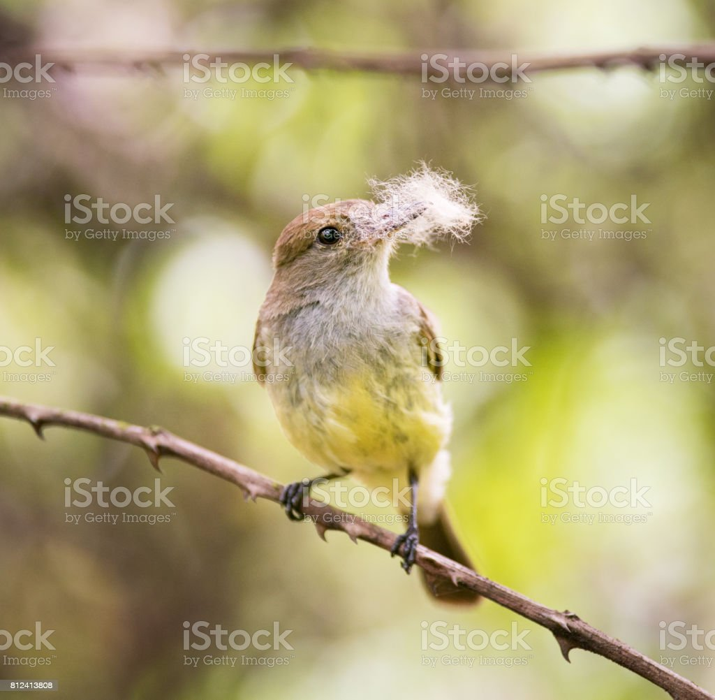 Yellow Warbler (Setophaga Petechia) collecting to built a nest, Santa Cruz Island, Galapagos Islands, Ecuador stock photo