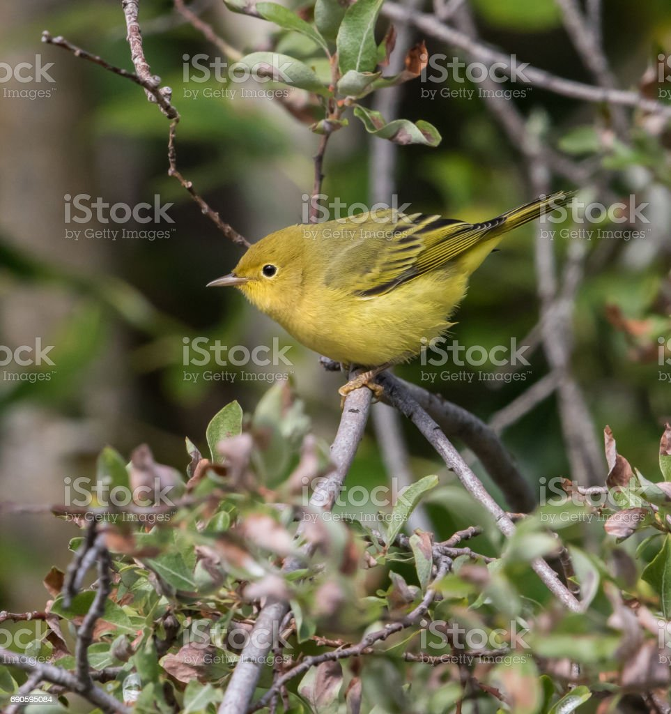 Yellow Warbler Female stock photo
