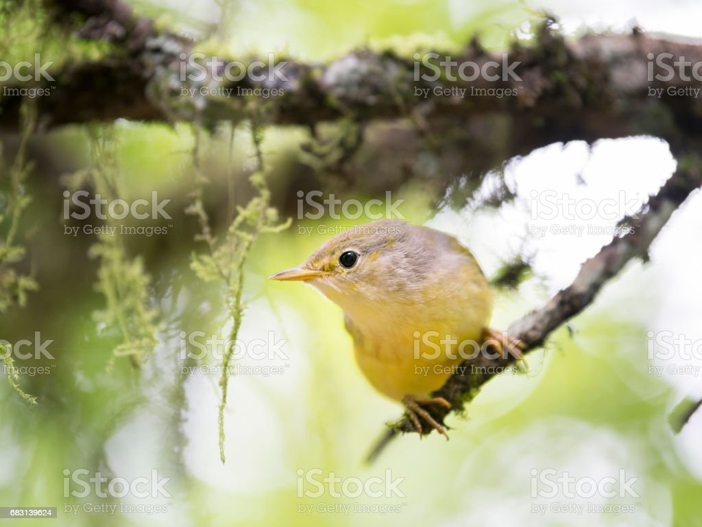 Yellow Warbler (Setophaga Petechia) Galapagos Race, Santa Cruz Island, Galapagos Islands, Ecuador stock photo