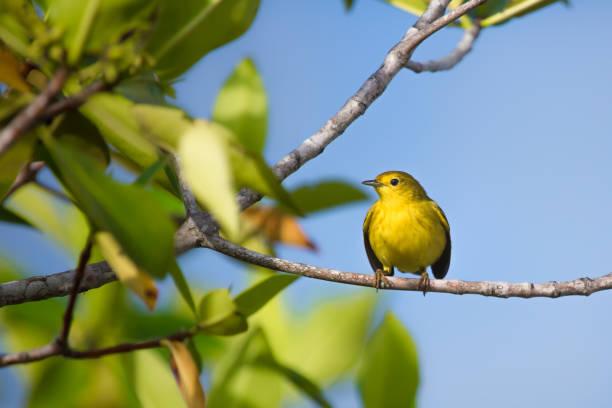 gele grasmus in galapagos - setophaga stockfoto's en -beelden