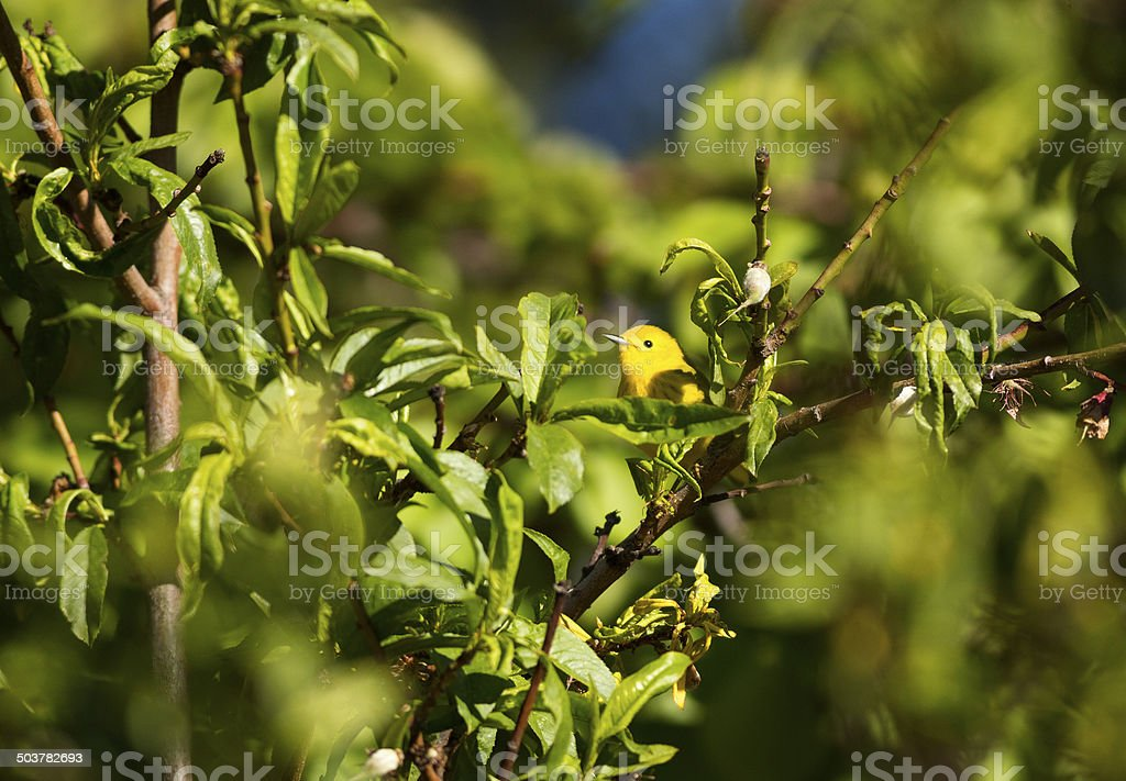 Yellow Warbler in Orchard royalty-free stock photo