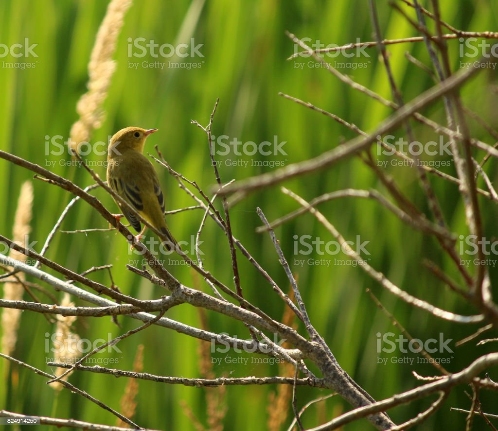 Yellow Warbler in Reeds and Branches stock photo