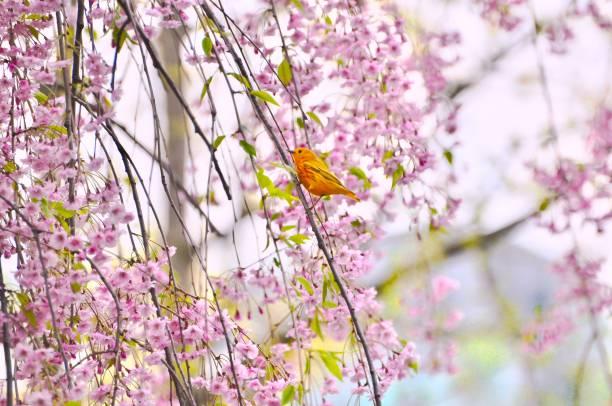 gele zanger in shidarezakura huilende kersenbomen - setophaga stockfoto's en -beelden