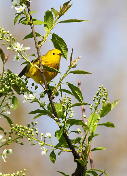 yellow warbler in spring - setophaga stockfoto's en -beelden