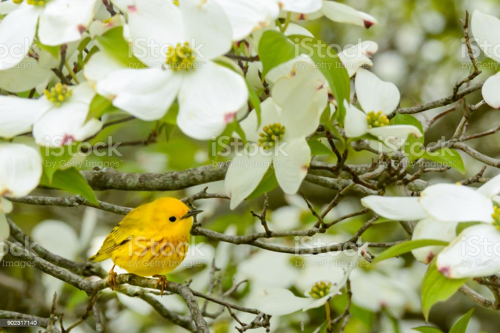 Yellow Warbler in spring stock photo