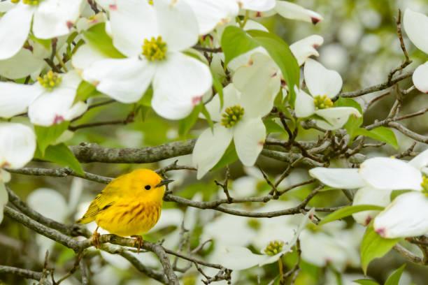 gele zanger in het voorjaar - amerikaanse zangers stockfoto's en -beelden