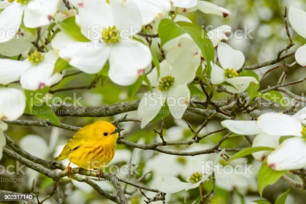 Gele Zanger In Het Voorjaar Stockfoto en meer beelden van Biodiversiteit