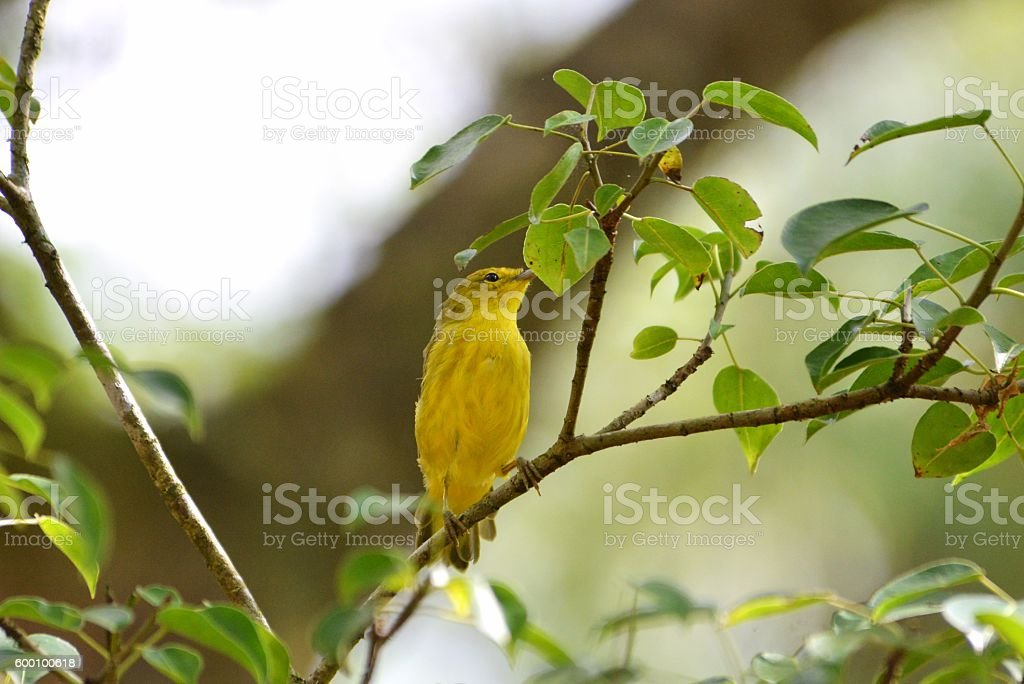 Yellow Warbler in Tree stock photo