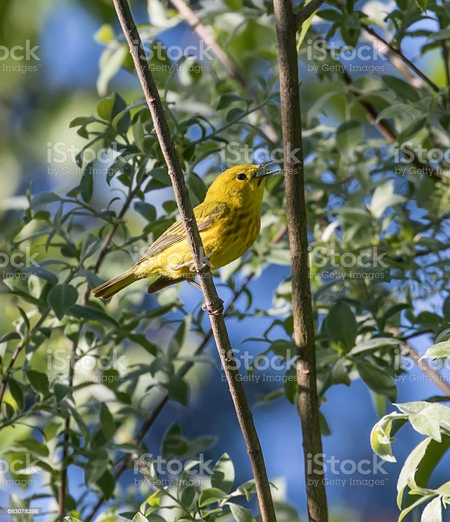 Yellow Warbler Male stock photo