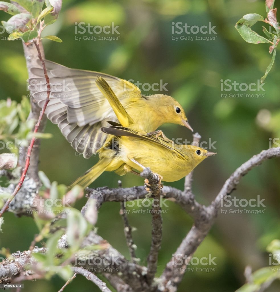 Yellow Warbler Mating Pair stock photo