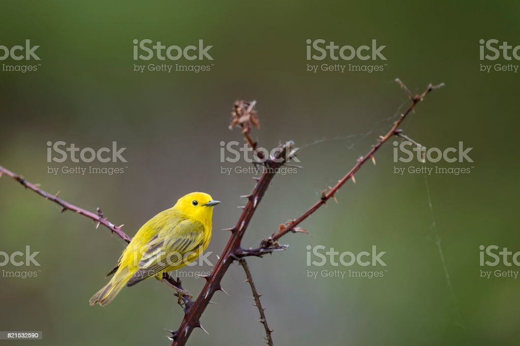 Yellow Warbler on a Thorny Perch stock photo
