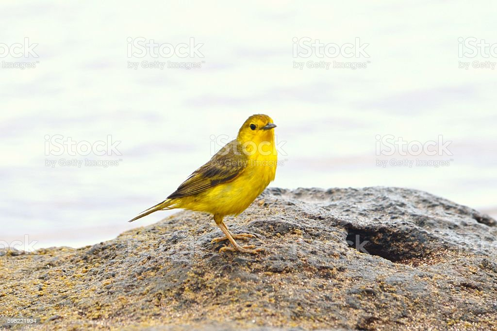Yellow Warbler on Lava Rock stock photo