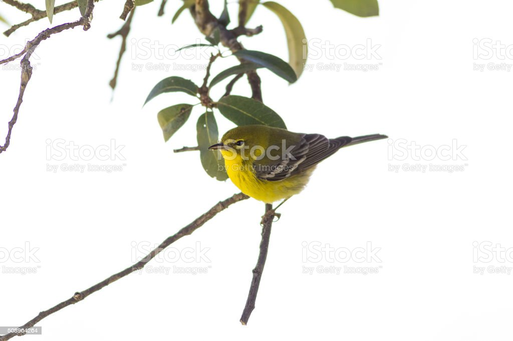 Yellow Warbler (Setophaga petechia) on white background. stock photo
