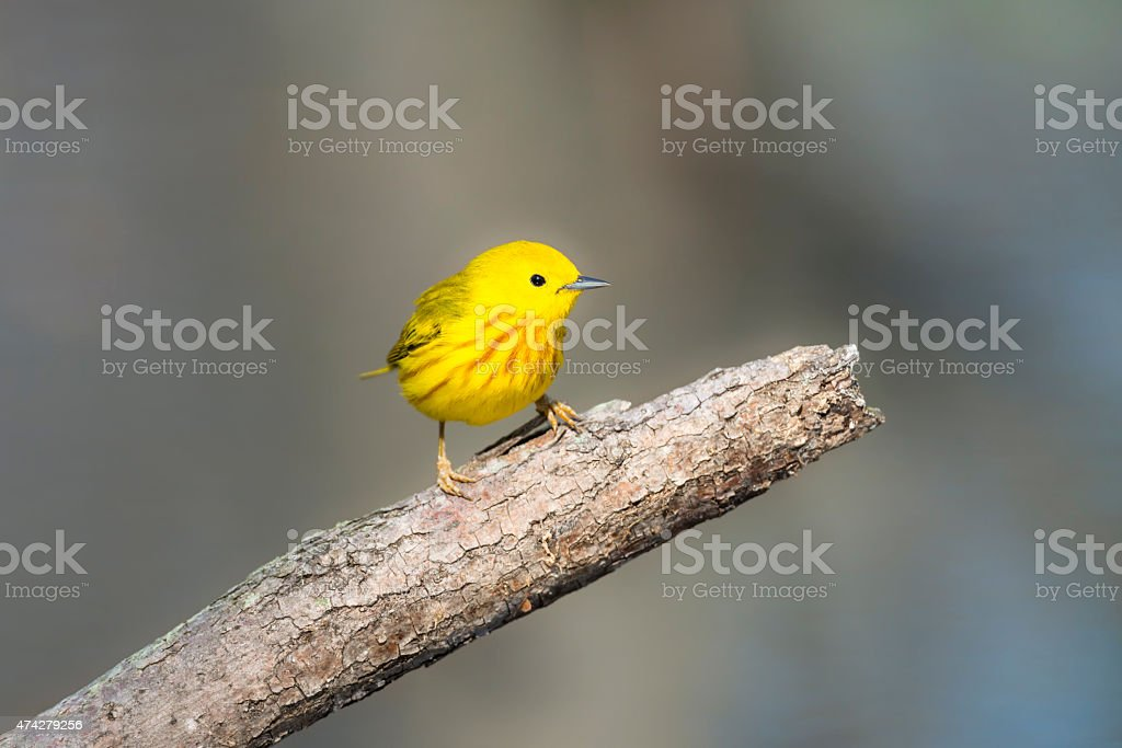 Yellow Warbler perching in springtime, male bird stock photo