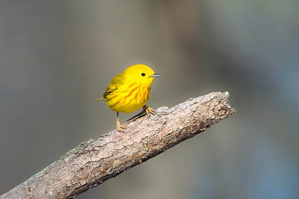 yellow warbler perching in springtime, male bird - setophaga stockfoto's en -beelden