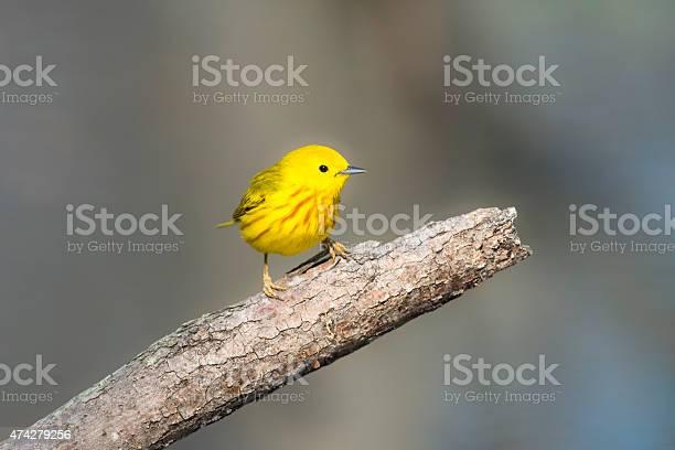 Yellow Warbler Perching In Springtime Male Bird Stockfoto en meer beelden van 2015