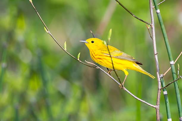 yellow warbler perching in springtime, male bird - amerikaanse zangers stockfoto's en -beelden