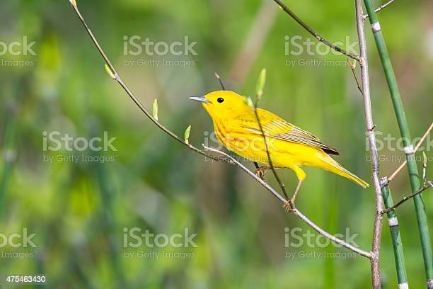 Yellow Warbler Perching In Springtime Male Bird Stockfoto en meer beelden van 2015